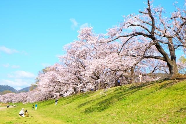 土手の上の桜